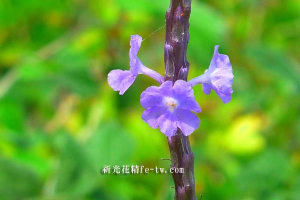 FA087紫花長穗木