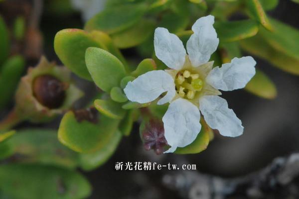 FA091水芫花