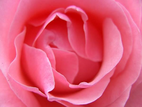 pink-rose-可當背景