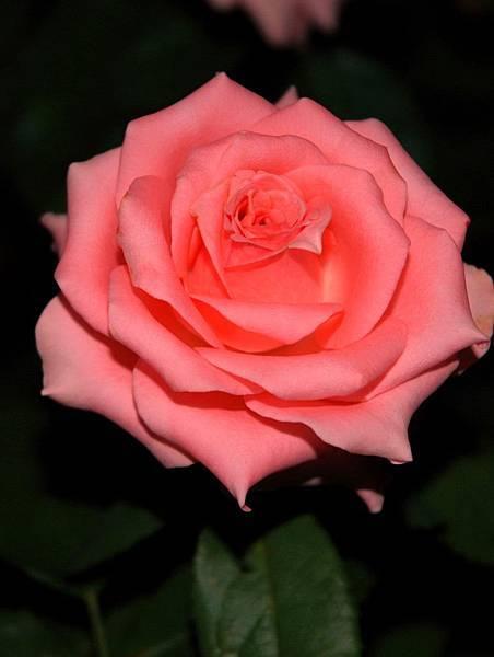004台灣粉紅玫瑰