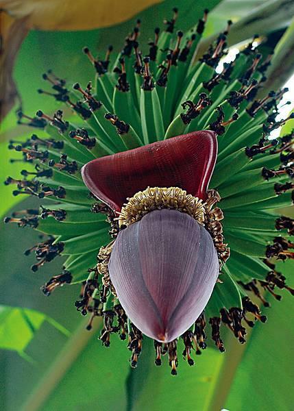 香蕉花-1