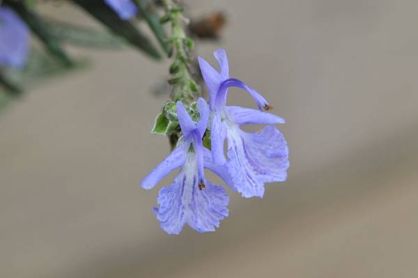 迷迭香花:原始的生命力量,舒服,安定,柔軟,給予安在的力量。