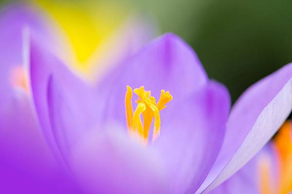 crocus-flower-1335376