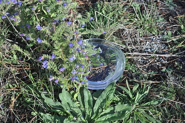 照片的角度可以取近一點,局部特寫。花精擷取自花朵、無色無味、不含任何物質或化學成分,是活生生的訊息能量水,是懷藏著「愛」的穩定能量。圖為紐西蘭牛舌草花氣擷取。