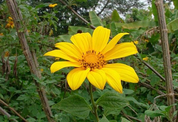 小向日葵1