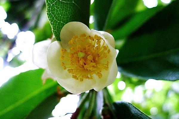 茶樹花-1