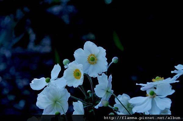 寒冷玉山裡的小白頭翁花