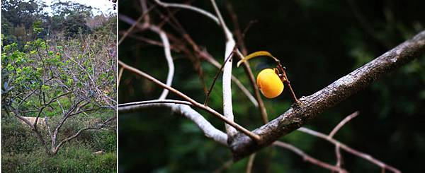 007柿子樹