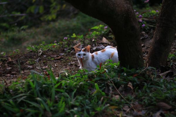 008柿子樹下的貓