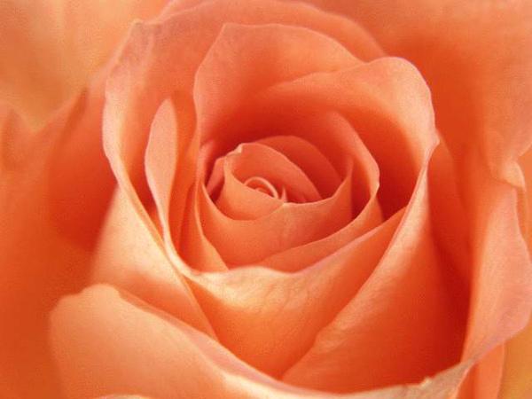 玫瑰(3).jpg
