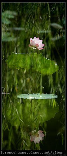 water lily by ST WONG