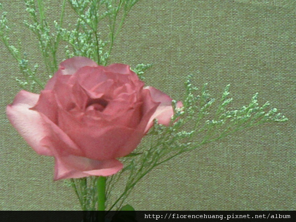 盛開的玫瑰