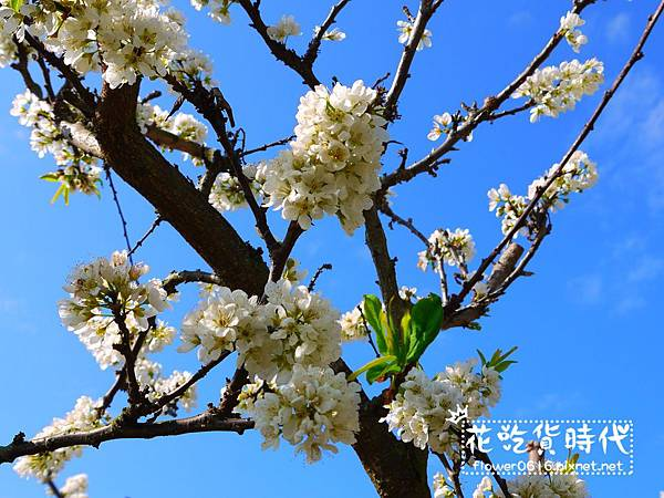 豐原公老坪李花 (6).jpg