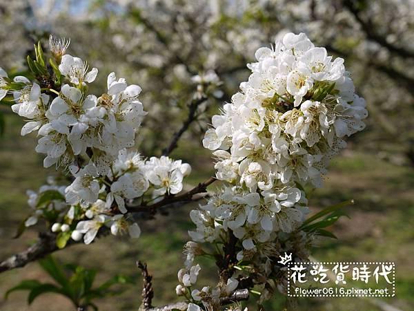 豐原公老坪李花 (19).jpg