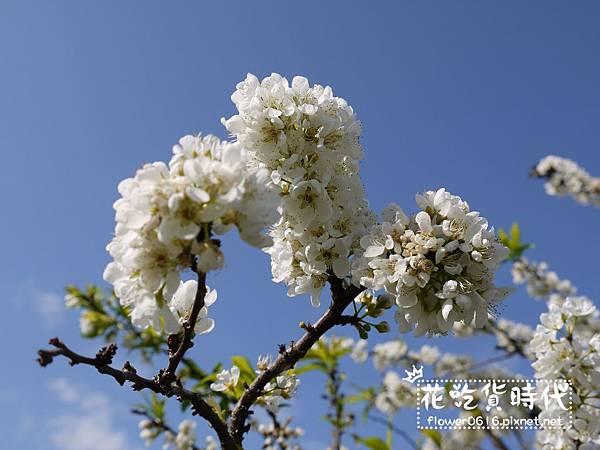 豐原公老坪李花 (20).jpg