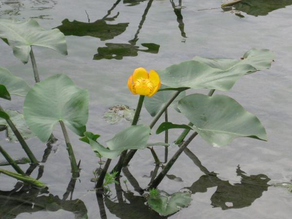 日本萍蓬草
