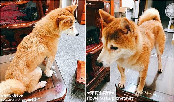 神寶寵物美容用品 毛小孩專用單馬達吹水機 (10).JPG