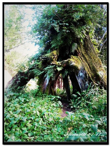 阿里山樹木.jpg
