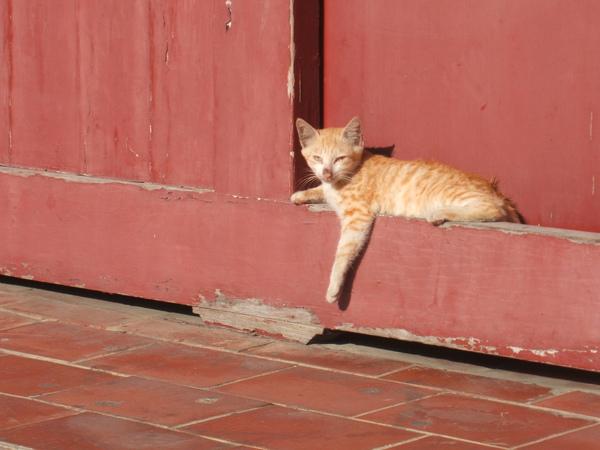 鹿港的小黃貓