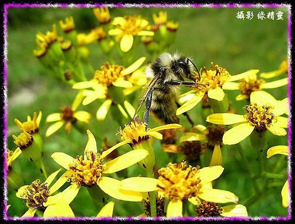 黃菀與熊蜂