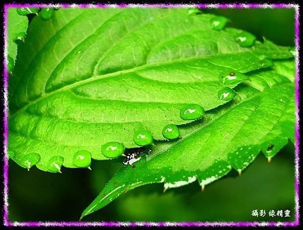 紫 花 鳳 仙 花 之 葉 露 珠