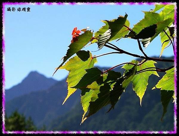 台灣紅榨槭與遠方的玉山主峰
