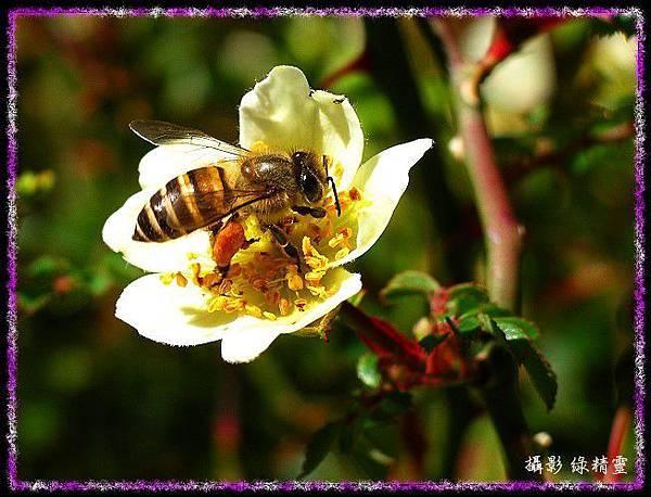 高 山 薔 薇 與 採 蜜 蜂
