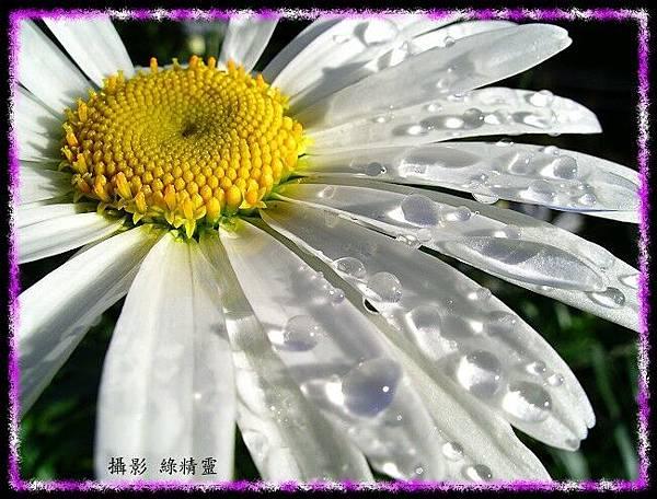 清晨的法國菊