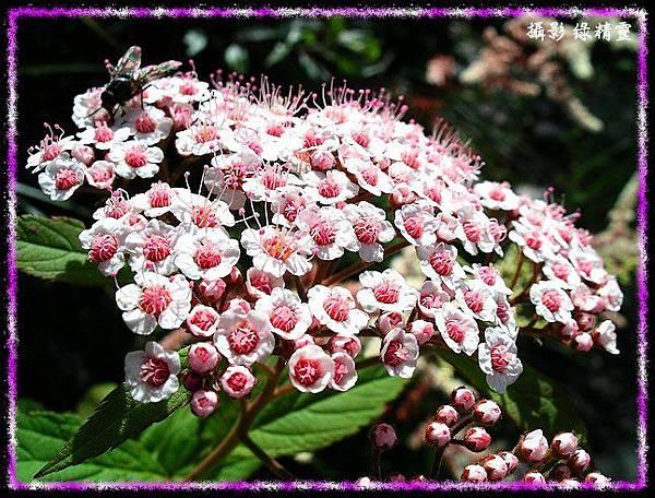 台 灣 繡 線 菊