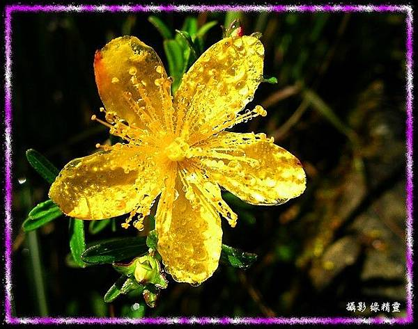 玉山金絲桃含珠露
