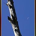 枯木與弦月