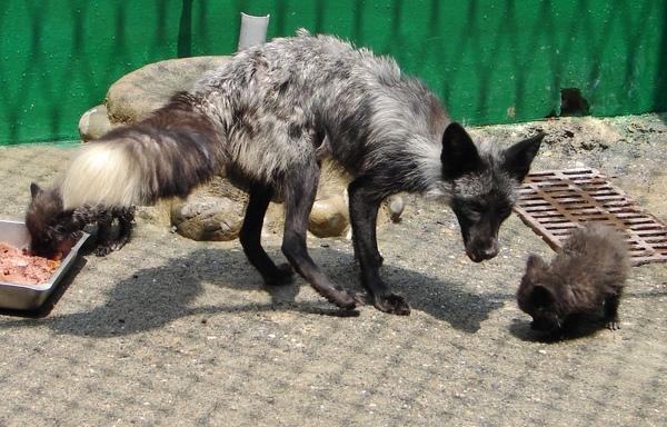 頑皮世界野生動物園於前年引進全台唯一的一對銀狐,成功克服氣候上的嚴重差異環境,最近順利產下四子,締造極地動物在亞熱帶地區復育的最成功記錄。