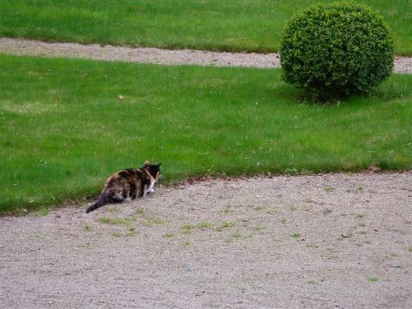 偷偷摸摸的rochecotte貓咪