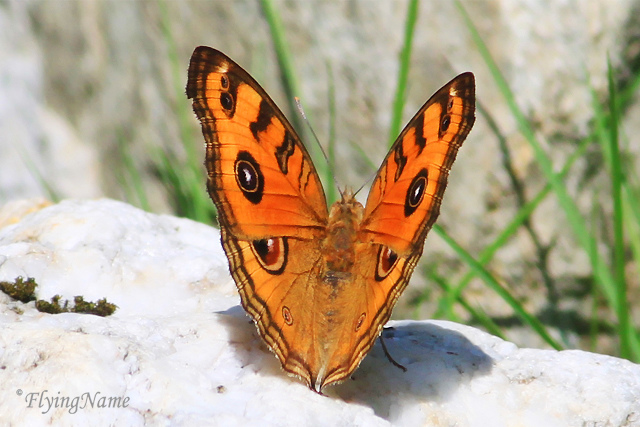 孔雀蛺蝶 Junonia Almana