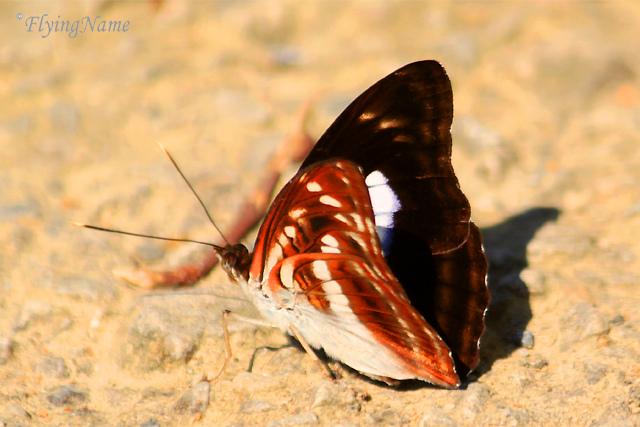 小單帶蛺蝶 Athyma selenophora laela