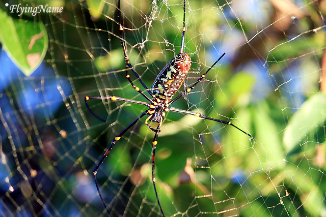 人面蜘蛛(Nephila pilipes)