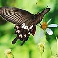 紅珠鳳蝶(Pachliopta aristolochiae)