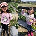 0209銅鑼炮仗花、大湖草莓3.jpg