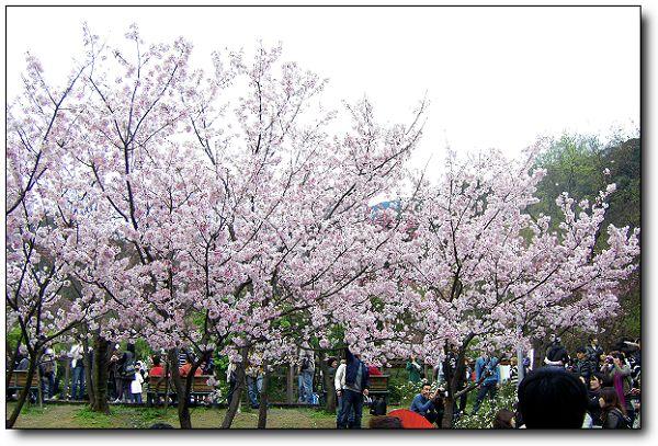 2011陽明山花季 (12).jpg