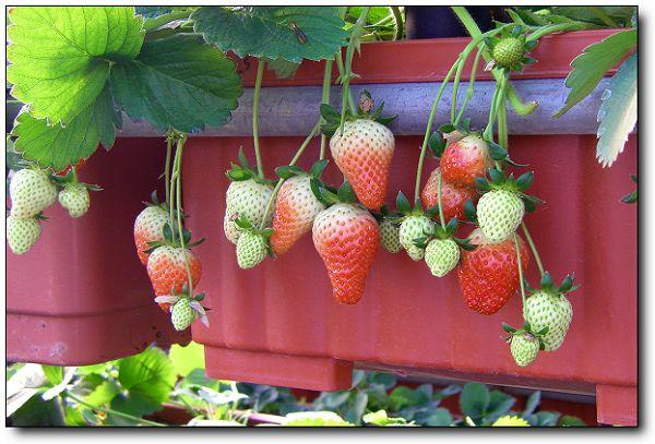 110227內湖草莓季 (22).jpg