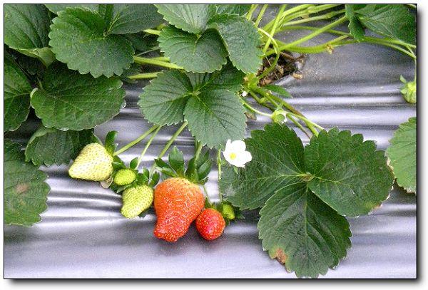 110227內湖草莓季 (18).jpg