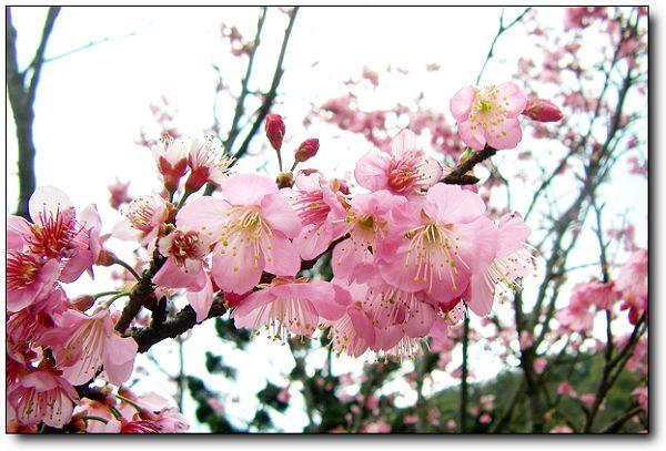 2011陽明山花季 (9).jpg