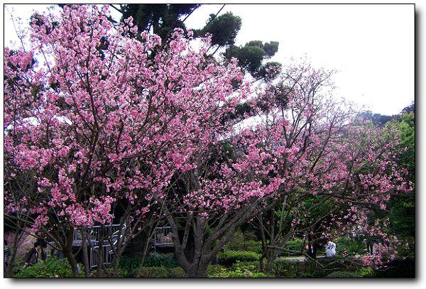 2011陽明山花季 (14).jpg