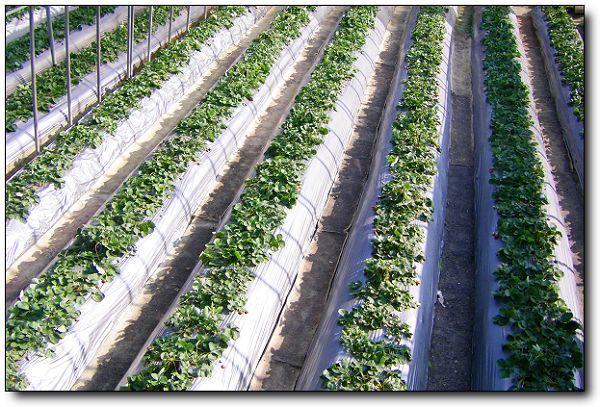 110227內湖草莓季 (16).jpg