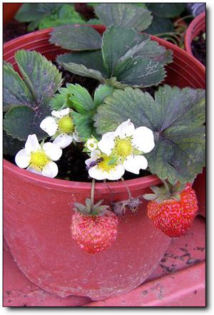 110227內湖草莓季 (8).jpg
