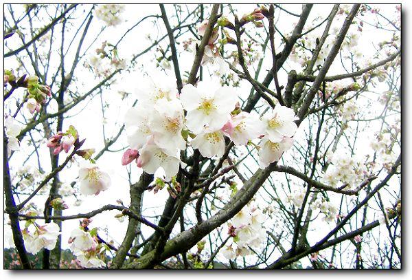 2011陽明山花季 (8).jpg