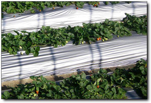 110227內湖草莓季 (17).jpg