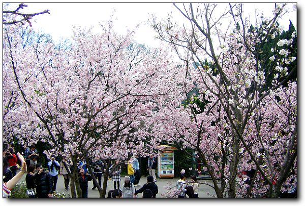 2011陽明山花季 (10).jpg