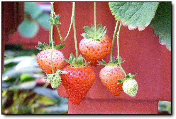 110227內湖草莓季 (33).jpg