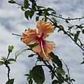 馬來西亞國花